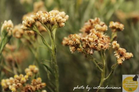 Bunga edelweiss, tetaplah abadi...