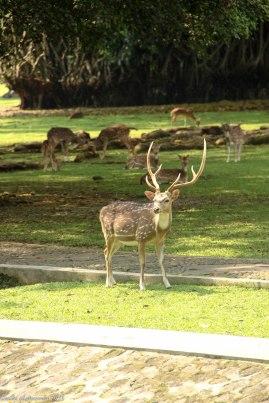 Salah satu rusa penghuni Istana Bogor